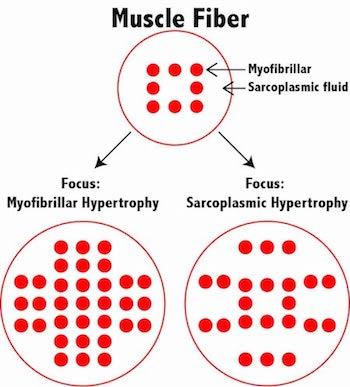 muscle hypertrophy Summary an orphanet summary for this disease is currently under development  however, other data related to the disease are accessible from the additional.